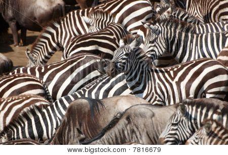 Stádo zeber (africké koňovitých) a Blue Wildebeest (connochaetes Taurinus)