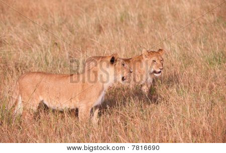 Two young Lion (panthera leo) cubs standing in savannah in South Africa poster