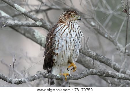 Juvenile Coopers Hawk (Accipiter cooperii) in a tree in winter poster