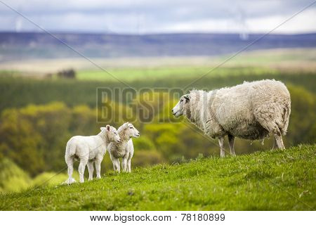 Family on the Meadow - Scottish Sheeps