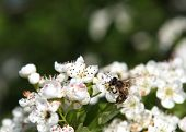 Honey bee collecting pollen in spring, close-up with bee sitting on white blossom. poster