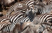 Herd of zebras (African Equids) and Blue Wildebeest (Connochaetes taurinus) crossing the river in nature reserve in South Africa poster