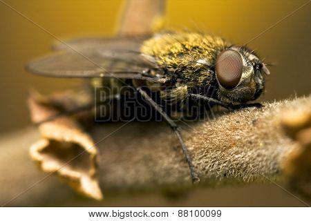 Pollenia Rydis