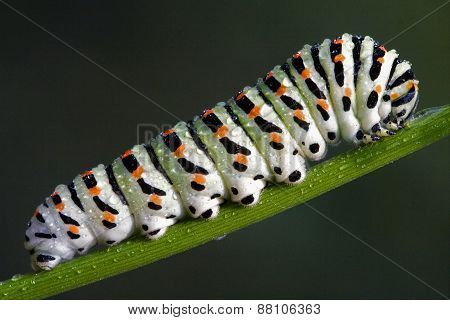 Caterpillar Of A Papilionidae