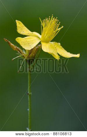 Yellow Hypericum Perforatum Guttifere