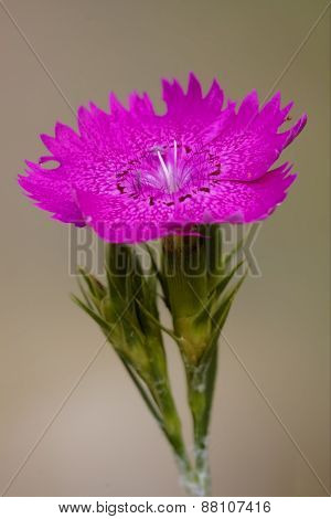 Violet  Wild Carnation  Epilobium