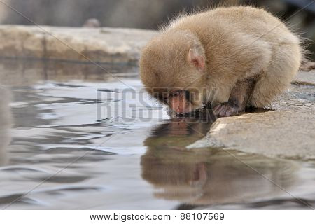 Young Japanese Macaque