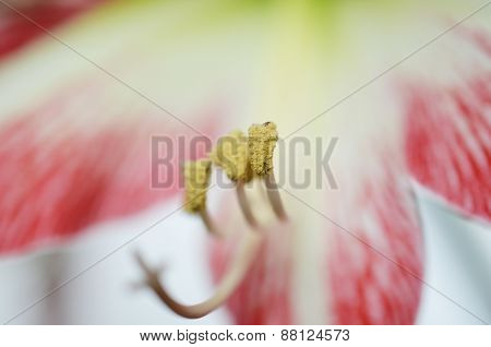 Lovely amaryllis