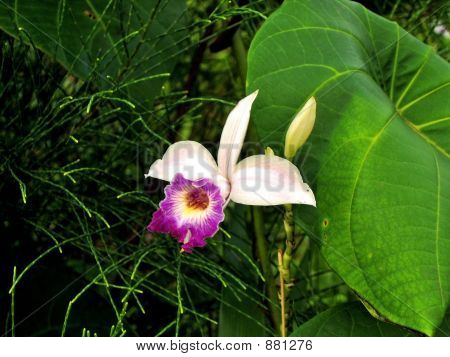 Rainforest Orchid