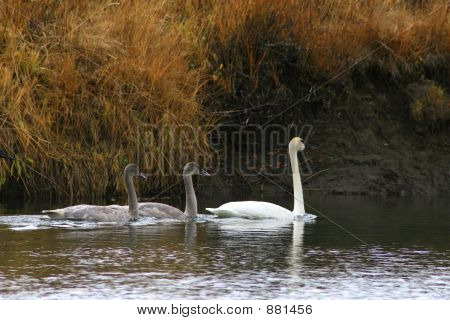 Swans In A River
