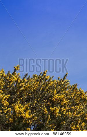 Gorse bushes and sky