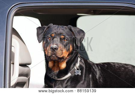 Rottie In A Truck
