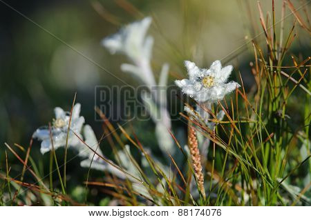 Edelweiss in Hohe Tauern National Park Austria ** Note: Visible grain at 100%, best at smaller sizes