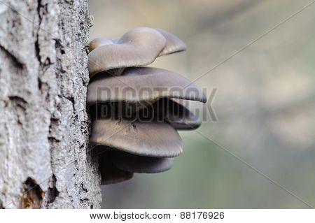 Oyster Mushroom (Pleurotus ostreatus) growing on a tree