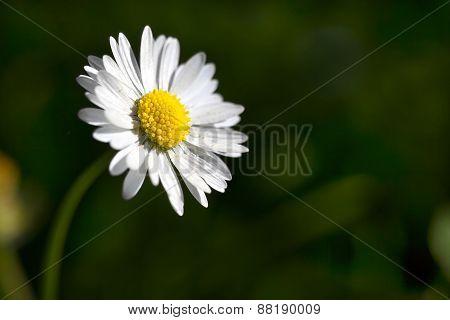 Oxeye Daisy - Closeup