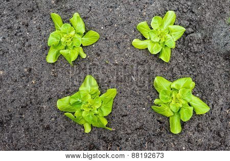 Four Young Butterhead Lettuce Plants From Above