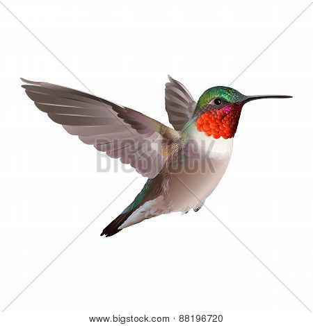 Hummingbird on white background. Colubris archilocus