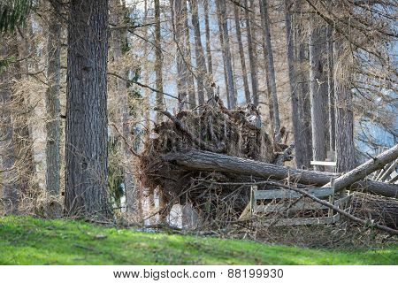 overthrown tree with roots