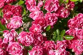 bunch of roses in the morning garden poster