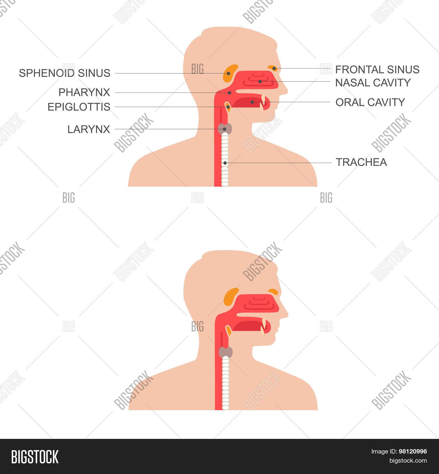 Nose, Throat Anatomy, Vector & Photo (Free Trial) | Bigstock