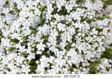 Yarrow Flower, Herbal Plants On Wooden Table