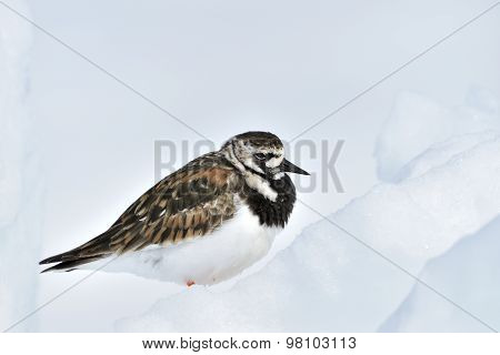 Turnstone (Arenaria interpres) adult in summer plumage