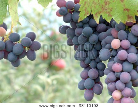 Picture of a ripe grapes ready to be harvested