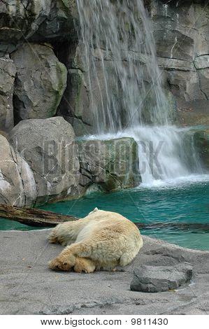 Polar Bear Slumber