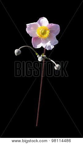 Rose mallow flower isolated on black