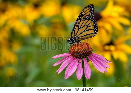 A Monarch Butterfly on a purple Echinacea cone