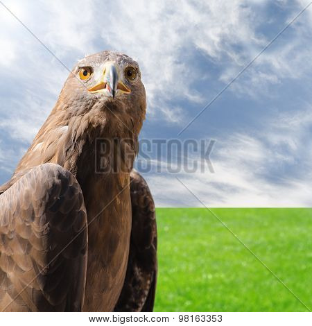 Predator Bird Golden Eagle Over Natural Sunny Background