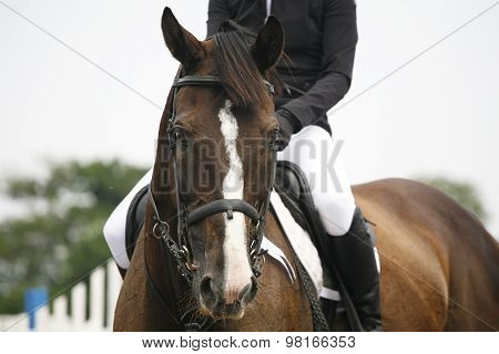 Head-shot Of A Show Jumper Horse During Competition With Rider