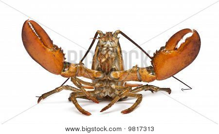 American lobster Homarus americanus in front of white background poster