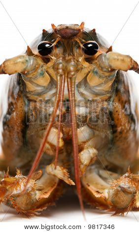 Close-up of American lobster Homarus americanus in front of white background poster