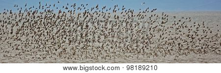 Shorebirds Flock Flight