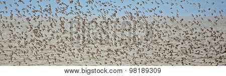 Shorebirds Pipers Plovers Flight