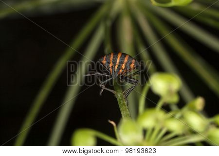 Copulating Italian Striped-Bugs or Minstrel Bugs