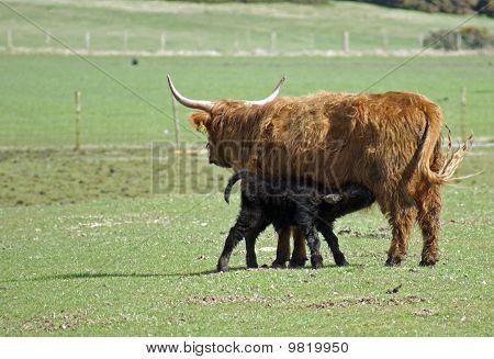 Brown Highland Cow feeding Black Calf