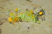 Crowded butterflies liking minerals on a sand bank. poster
