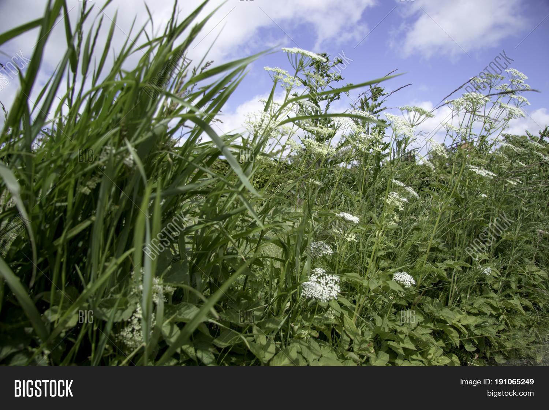 Roadside Weed White Image Photo Free Trial Bigstock