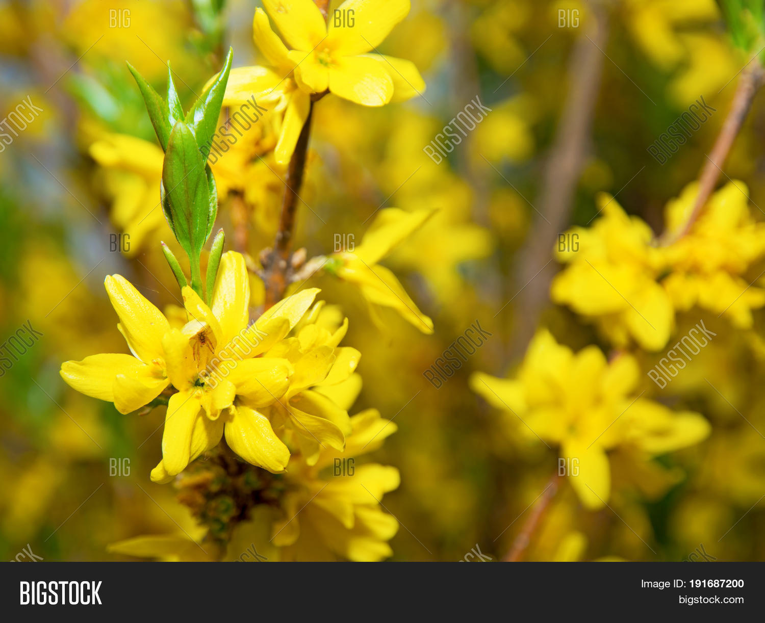 Bright yellow flowers image photo free trial bigstock bright yellow flowers on a bush many flower racemes and one sits a beautiful spider mightylinksfo