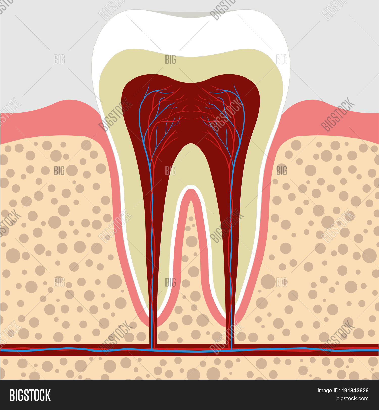Human Tooth Gum Cross Image & Photo (Free Trial) | Bigstock