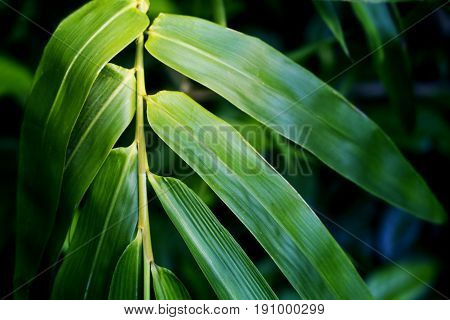 Bright bamboo leaf on green background. Bamboo leaf toned photo for spa salon design meditation wallpaper zen poster. Fresh green leaf. Tropical garden. Beauty banner. Oriental plant. Leaf decor