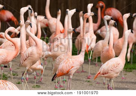 Closeup of a red flamingo group with blurry background. Many flamingo birds at the zoo.