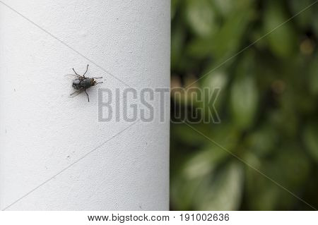Fly posed on a white wall with green leaves background