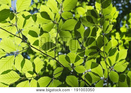 View on green Leaves in Sunlight. Close-up of green Leaves in the Morning Light. Luminous Leaves