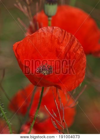 Red beautiful poppies on the dark blurred background. Button with bloomed red poppy flower. Selective focus, vertical photo.