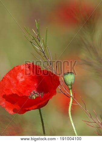 Poppy button with bloomed red poppy flower on the blurred background. Red beautiful wildflowers. Selective focus, vertical photo.