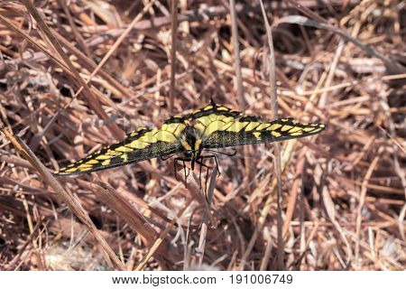 Anise Swallowtail - Papilio zelicaon. Santa Clara California, USA.