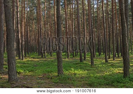The photo shows a tall pine forest. You can see only the slender trunks of trees. Crowns are visible on the trees in the background. The substrate is covered with brown needles, moss and small plants. It is sunny day.